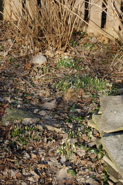 There are patches of snowdrops around the old silver maple stump - not yet ready to bloom.