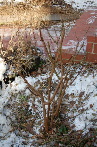 'Cassie' after pruning.
