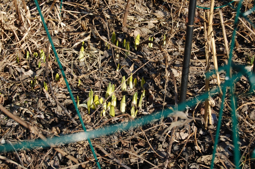 Daffodils, emerging rather pale.
