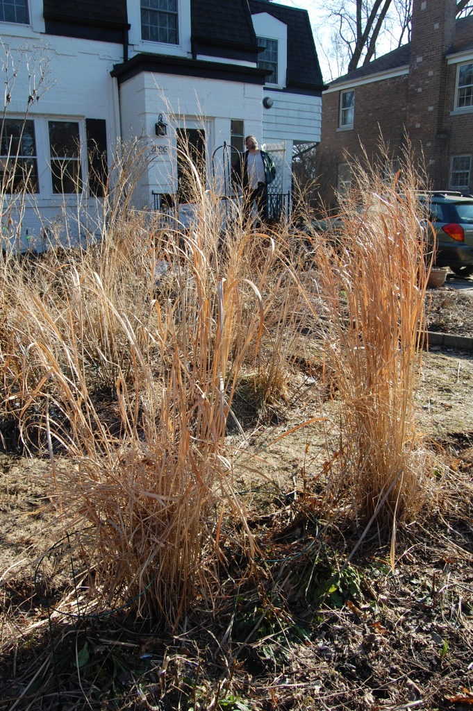 'Northwind' switchgrass, still standing.