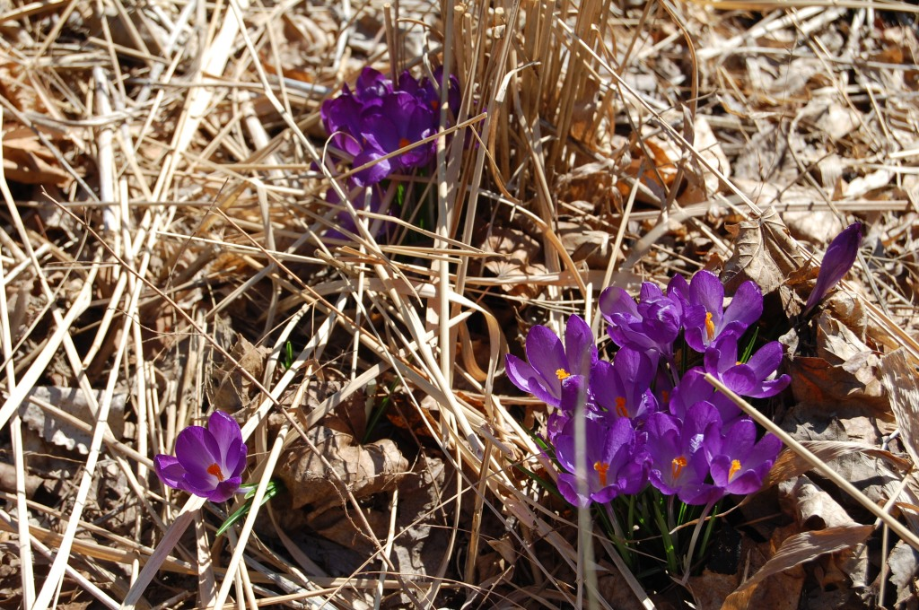 Crocus blooming on March 4, 2012