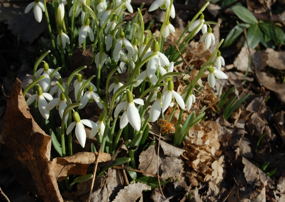 Bee with Snowdrops