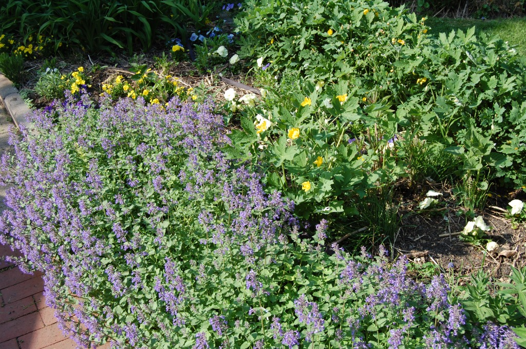'Kit Kat' catmint with yellow violas and celandine poppies.