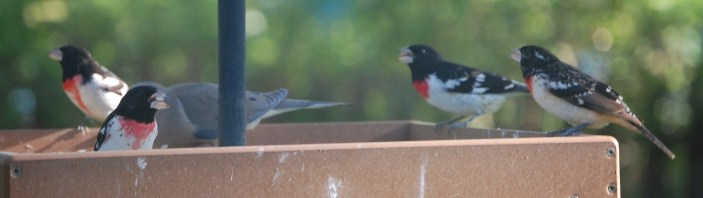 A Rose Breasted Grosbeak party on the platform feeder.