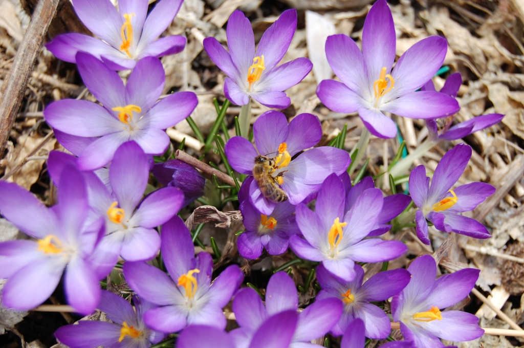 Tommy crocus and  bees