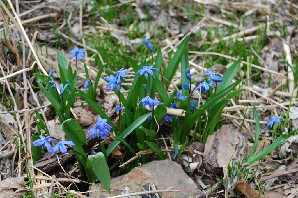 Siberian squill.