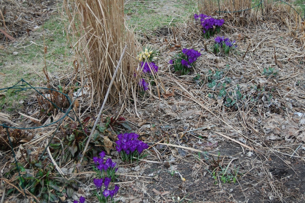 Crocus clumps scattered along the sidewalk border.