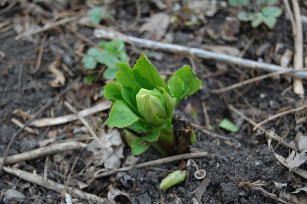 Young hellebore with flower bud.