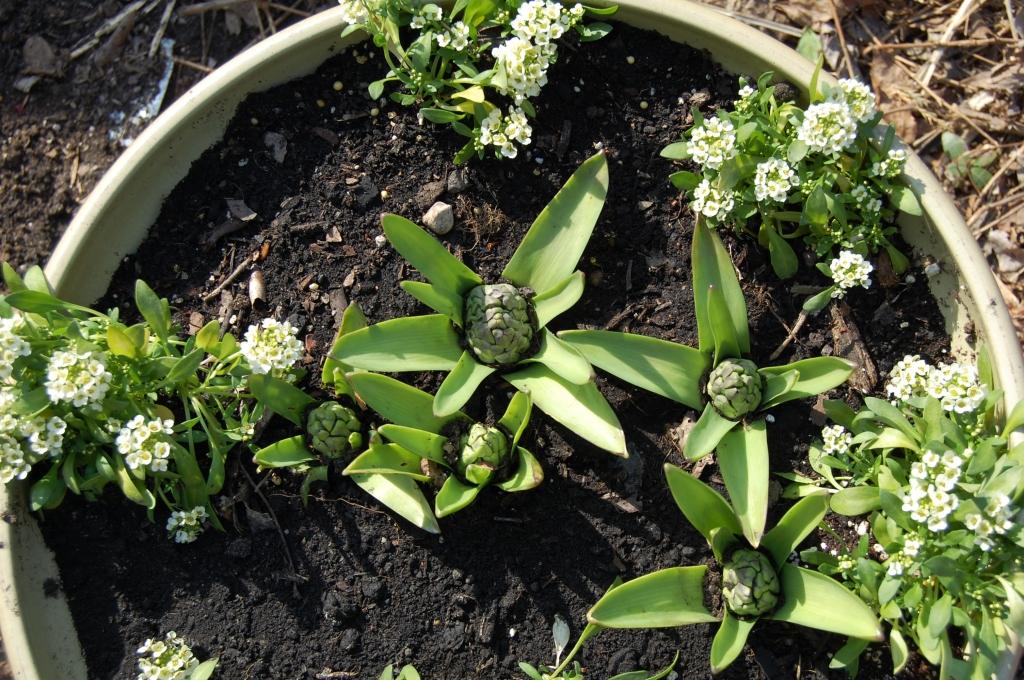 Hyacinths coming up.