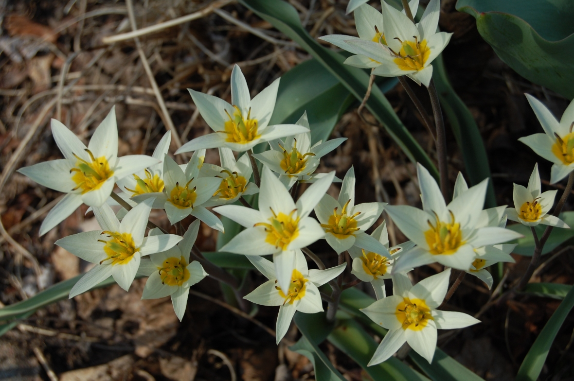 2014-04-20 17.10.00 Tulipa turkestanica