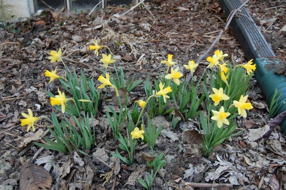 'Little Gem' daffodils