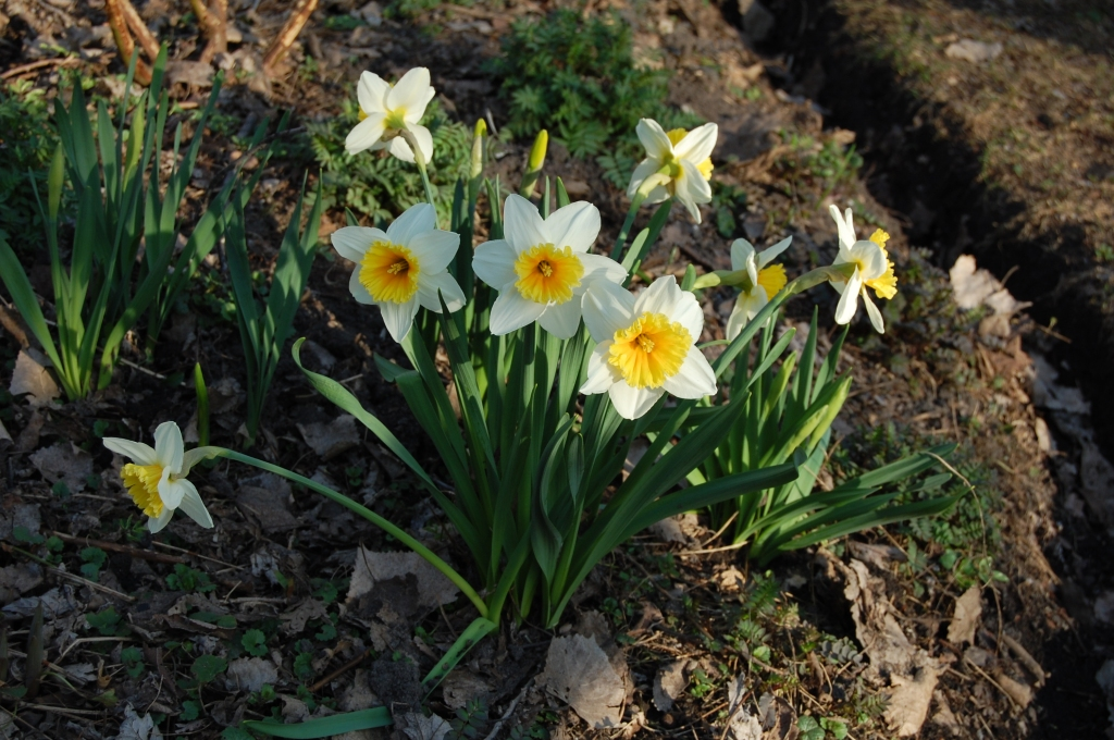 Bicolored daffodils, variety unknown.