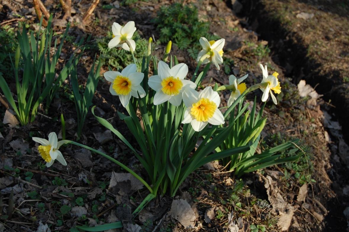 2014-04-20 18.36.12 bicolored daffodils