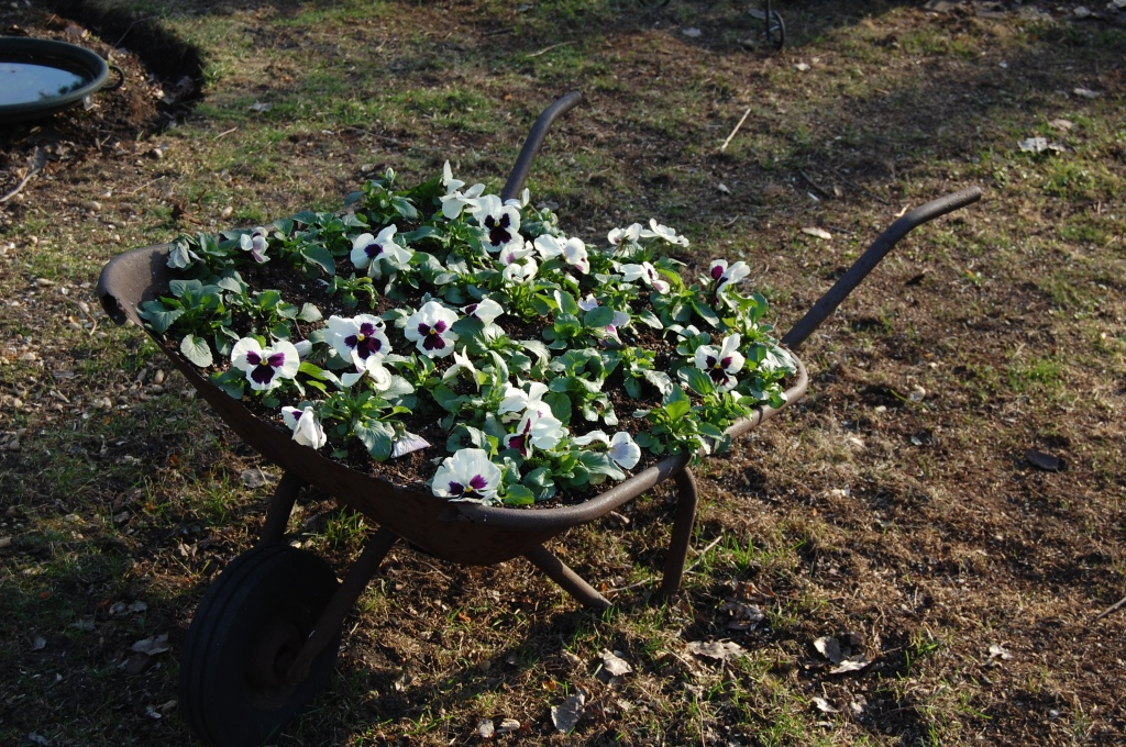 Our old wheelbarrow planted with pansies.
