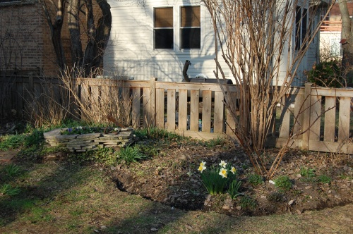 Southeast corner of the back garden, with Deutzia and 'Sally Holmes' rose not yet leafing out. It's hard to see, but Jacobs ladder and merrybells are coming up.