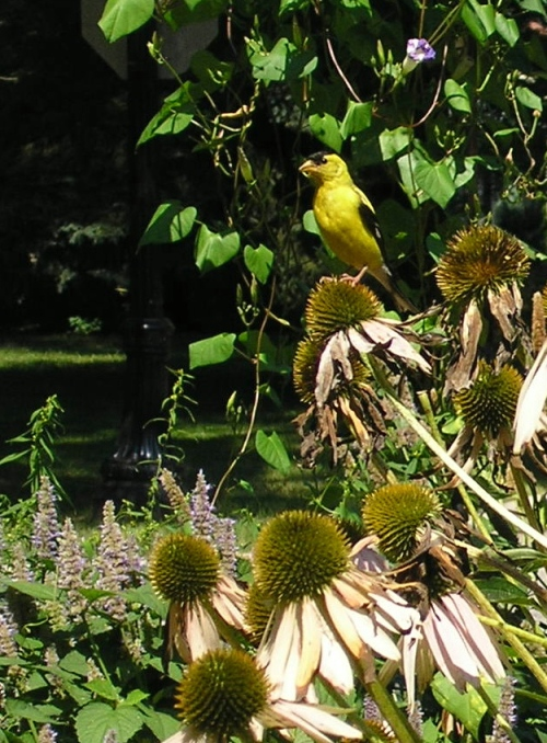 Male American goldfinch in summer plumage, perched on purple coneflower.