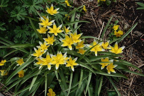 Tulipa tarda