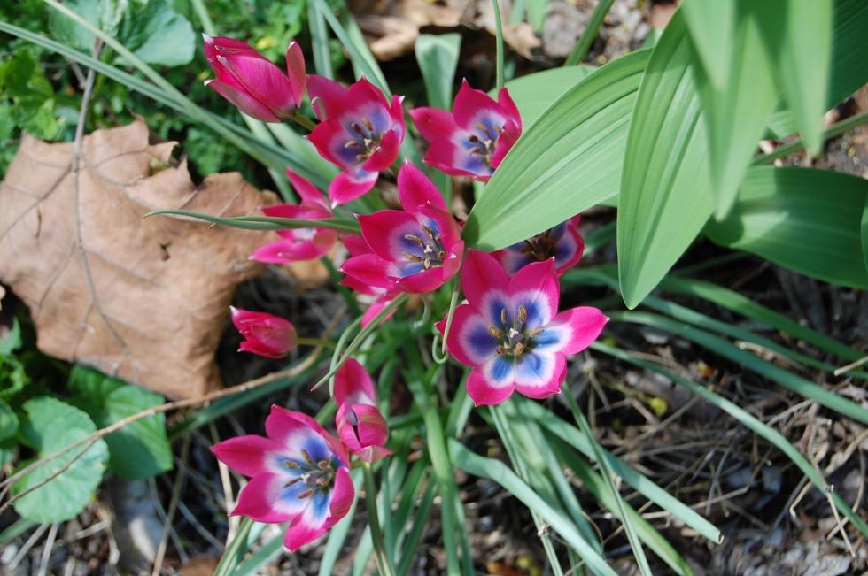 tulip little t or p