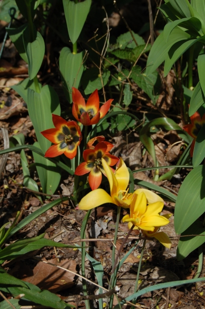 Tulipa 'Little Princess' (orange) with T. clusiana