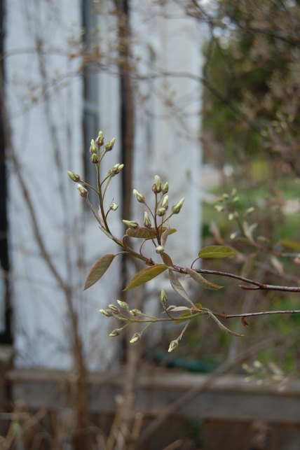 Serviceberry still not blooming in early May.