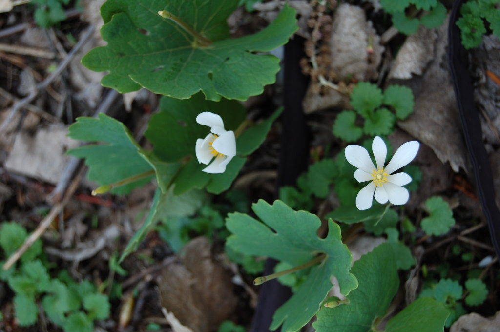 My very own bloodroot.