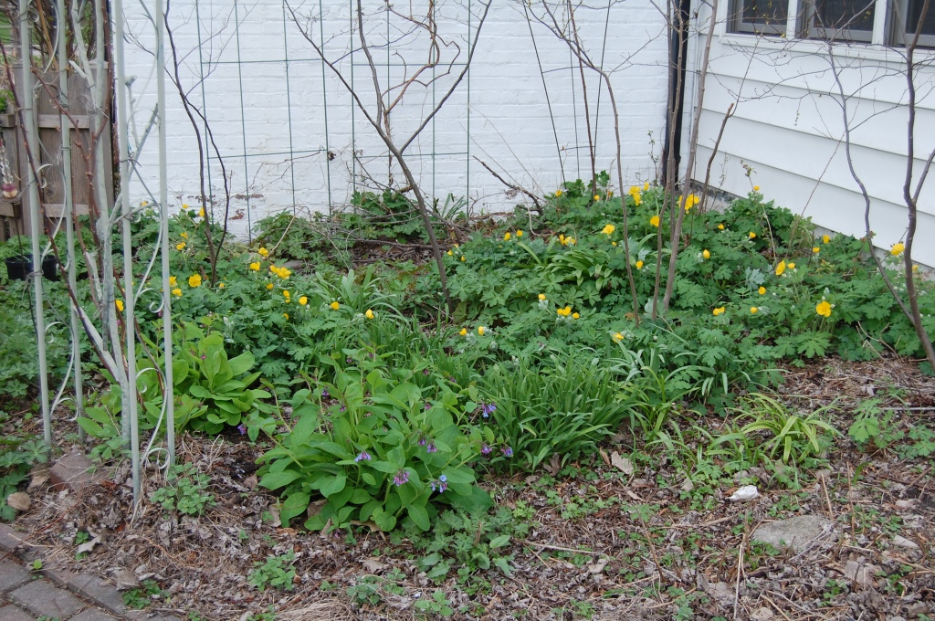 Celandine poppies have begun blooming among the spicebush.