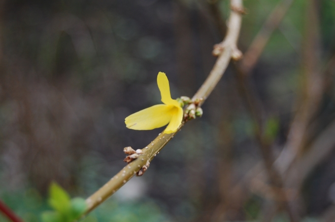 A lonely forsythia bloom.