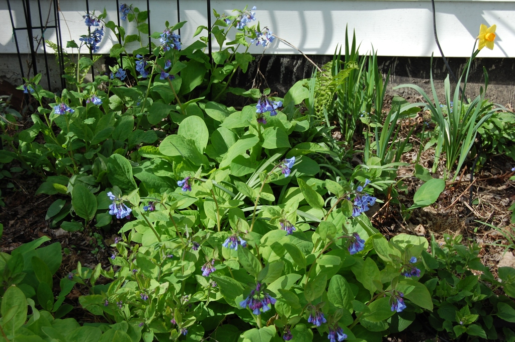 Virginia bluebells are blooming in warmer or sheltered spots, such as here behind the back porch.