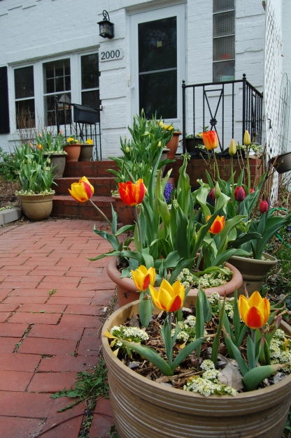 The early hybrid tulips in containers have begun blooming. In front is