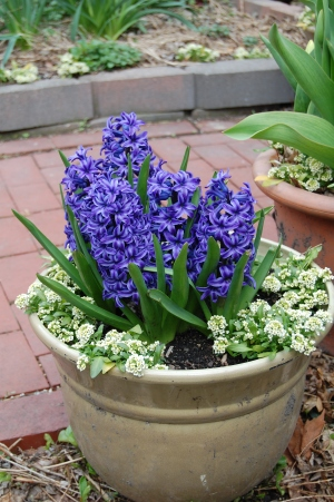 Hyacinth 'Blue Jacket': grew from a bloody head wound? I wonder if wild Hyacinths were mostly red.