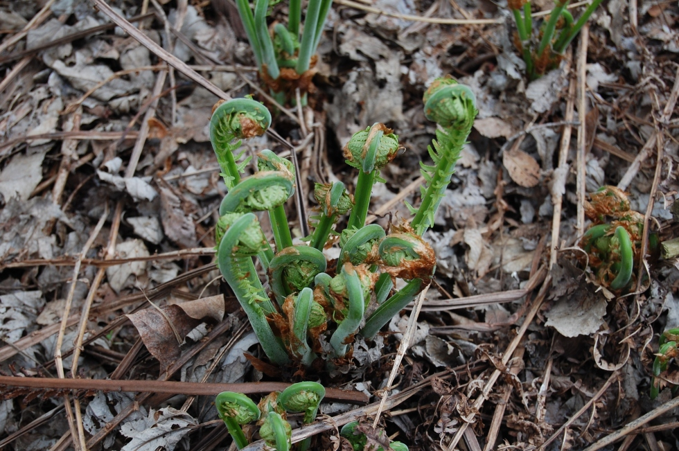Ostrich fern fiddleheads.