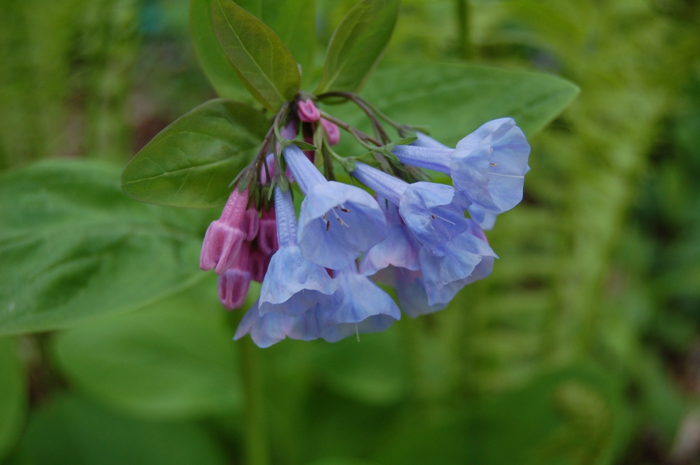 Close up of Virginia bluebells.