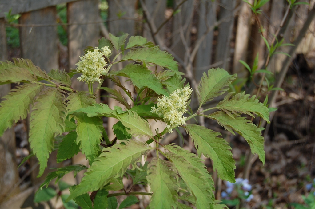 'Sutherland Gold' red elderberry.