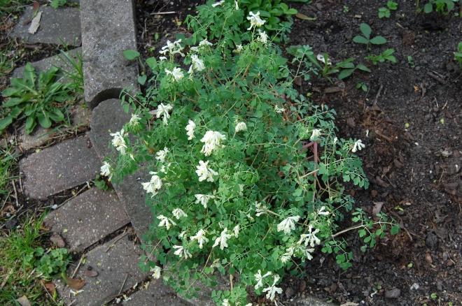 White Corydallis