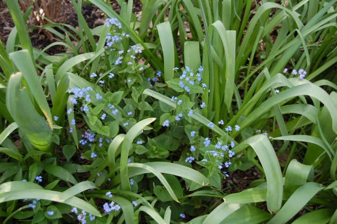 False forget me not interplanted with Allium 'Purple Sensation'.