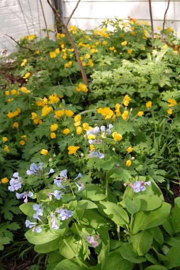 Virginia Bluebell and Celandine Poppy