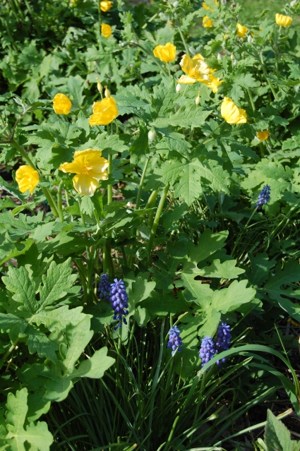 Grape hyacinths with celandine poppy.