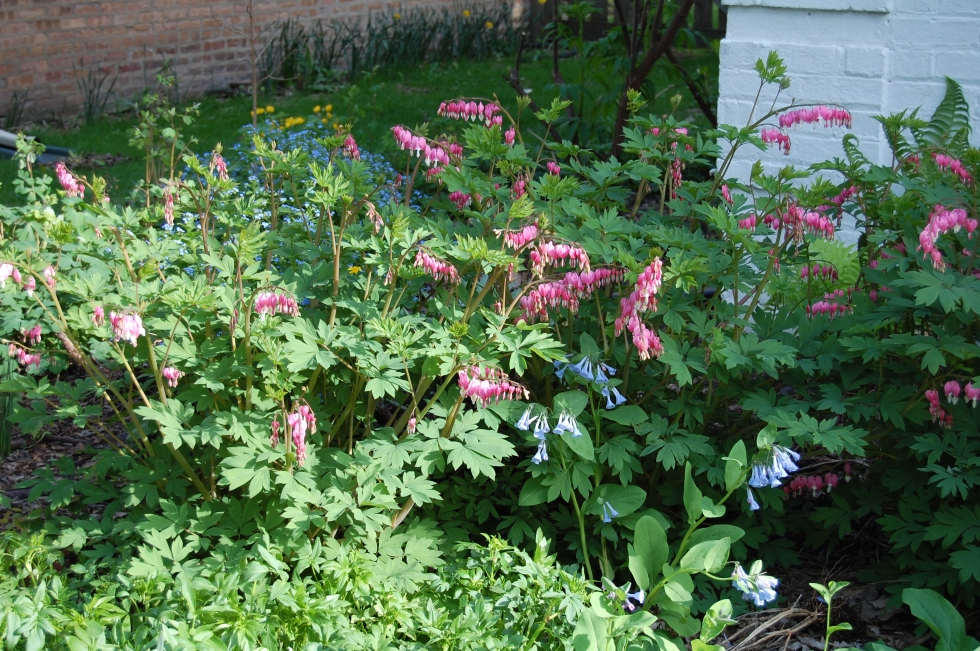 Bleeding hearts in the front foundation bed.