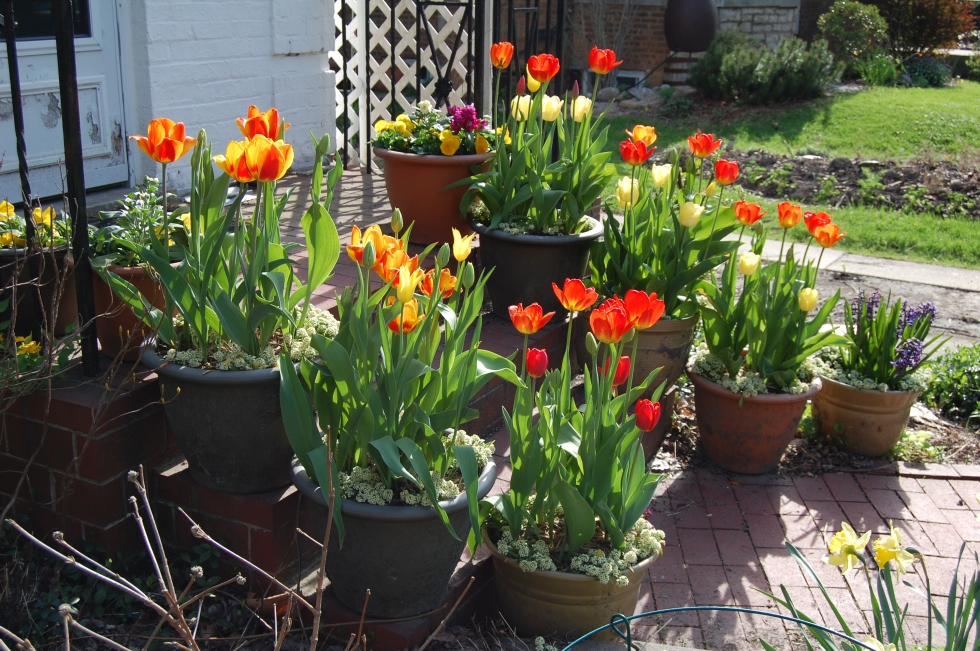 Tulips and other flowering containers on the front steps.