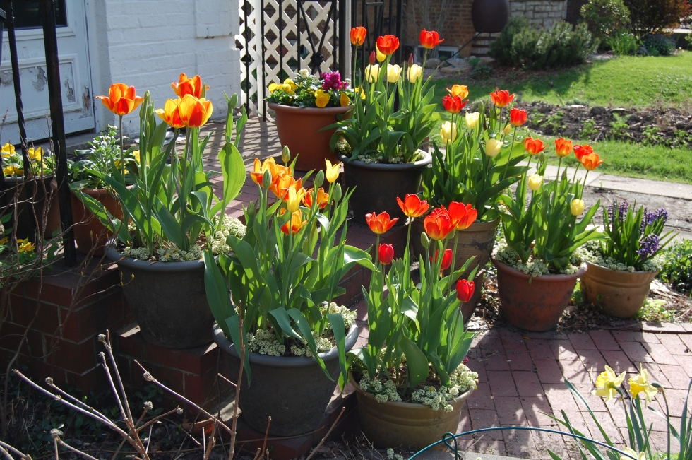 Container tulips on the front steps.