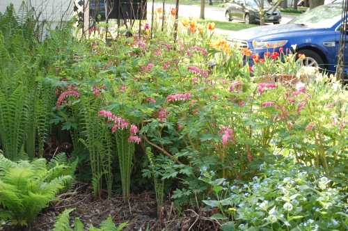 Ostrich ferns with bleeding hearts.