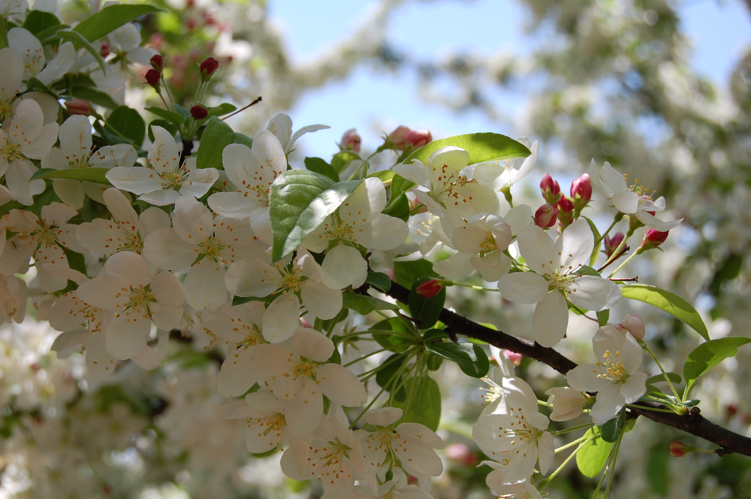 crabapple blossoms at the chicago botanic garden u2013 gardeninacity