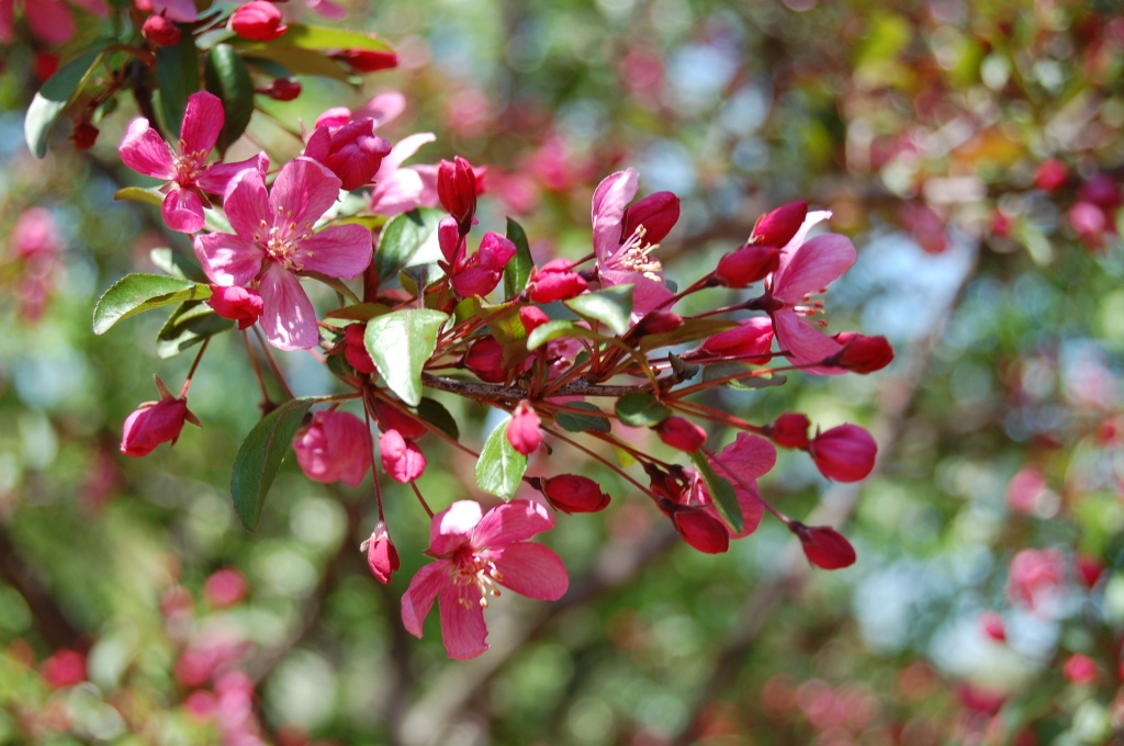 Pink crabapple blossoms and buds.