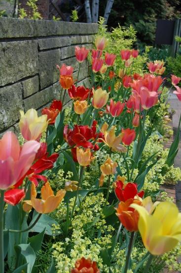Tulips at the Chicago Botanic Garden.