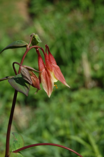 Columbine close up.