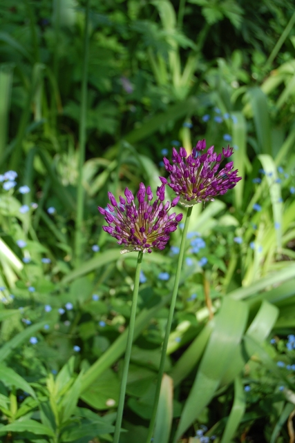 Allium 'Purple Sensation', with false forget-me-not in the background.