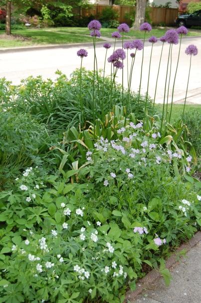 Allium 'Globemaster' with wild geranium in front.