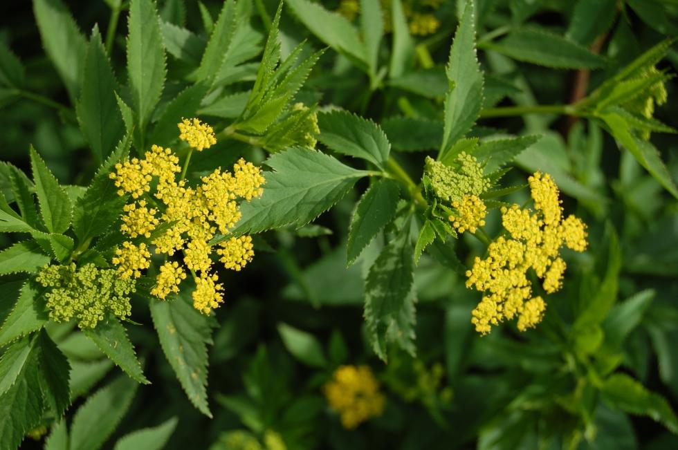 Golden Alexander flowers.
