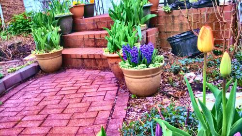 In front of the house I have one container of hyacinths of eight of hybrid tulips. The tulips are just starting to open, I think they will have a good year.