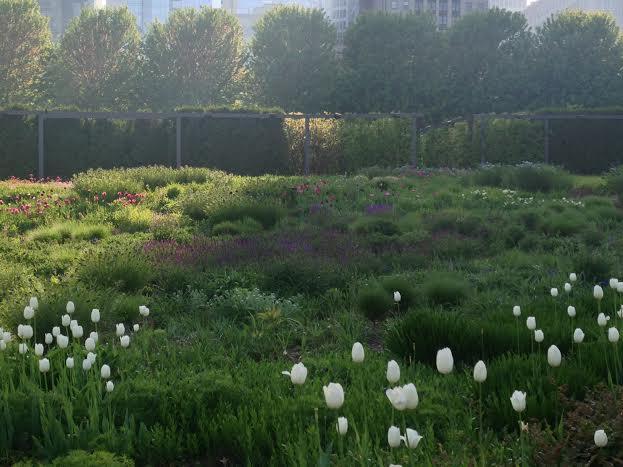 Gentle green mounds dominate the Lurie Garden in May.